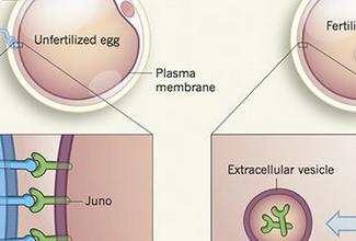 有时为何明明精子与卵子结合了,但却不能着床?