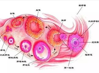 卵巢自测小方法:你的卵巢处于哪种状态呢?